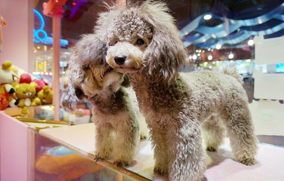 小萍的狗狗叫HengJ,无论在家,在街上,在宠物店,只要有好的角度总忘不了给HengJ拍张帅照 。